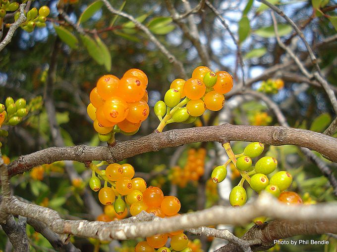 Alepis flavida fruit Yellow mistletoe-1.JPG