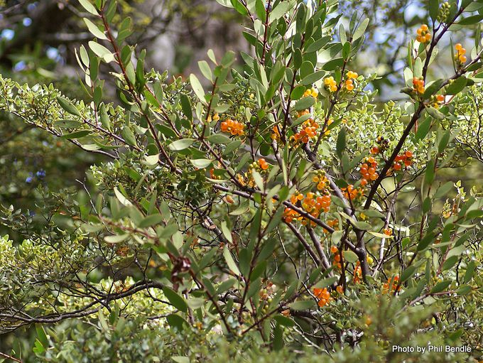 Alepis flavida fruit Yellow mistletoe-3.JPG