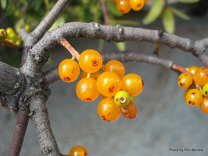 Alepis flavida fruit Yellow mistletoe.JPG