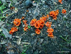 Phil Bendle Collection:Aleuria aurantia (Orange Peel Fungus)