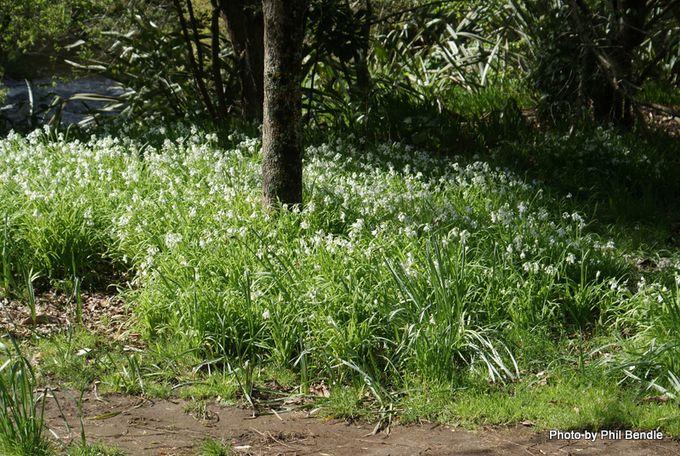 Allium triquetrum Onion weed.JPG