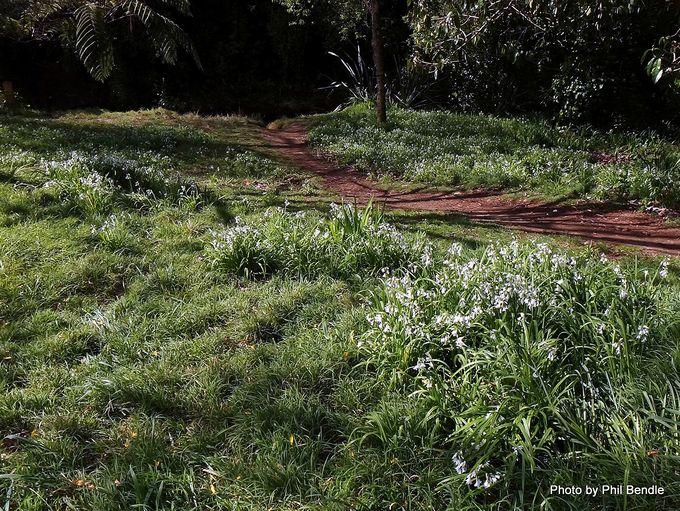 Allium triquetrum Onion weed -001.JPG
