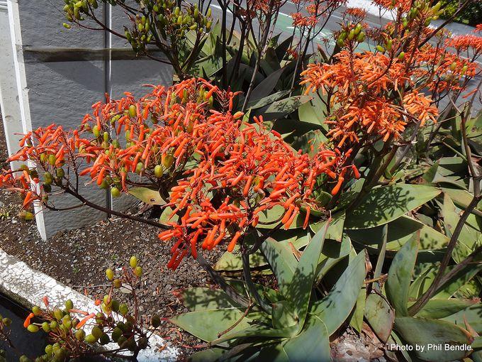 Aloe striata Coral Aloe -001.JPG