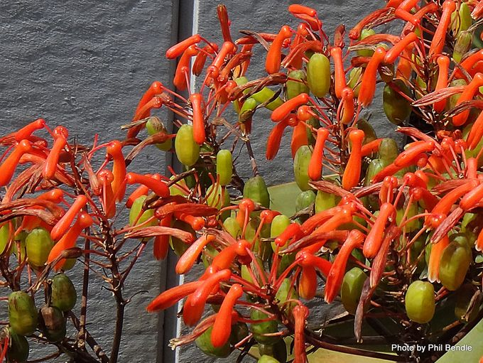 Aloe striata Coral Aloe -004.JPG