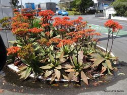 Phil Bendle Collection:Aloe striata (Coral aloe)