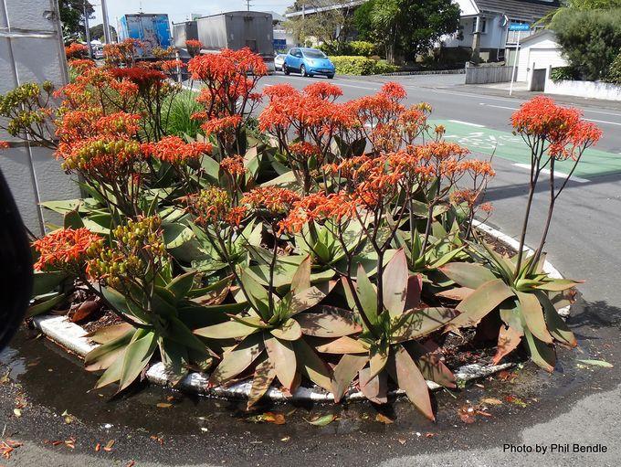 Aloe striata Coral Aloe .JPG
