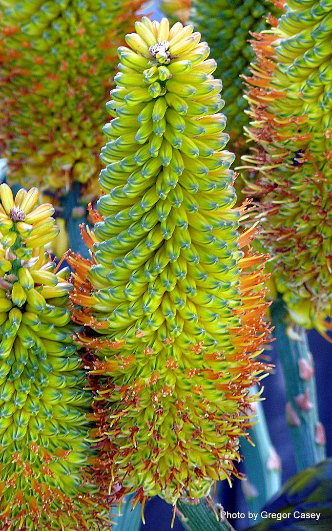 Aloe thraskii Dune aloe-001.JPG