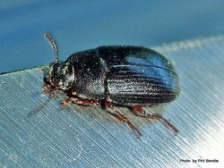 Phil Bendle Collection:Beetle (Lesser mealworm) Alphitobius diaperinus