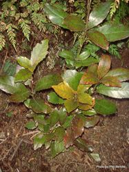 Phil Bendle Collection:Alseuosmia macrophylla (Large-leaved toropapa)