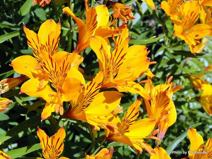 Alstroemeria aurea Peruvian lily-001.JPG