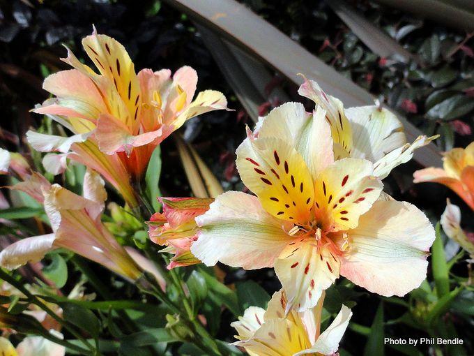 Alstroemeria species Peruvian lily -002.JPG