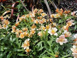 Phil Bendle Collection:Alstroemeria species (Peruvian lily)