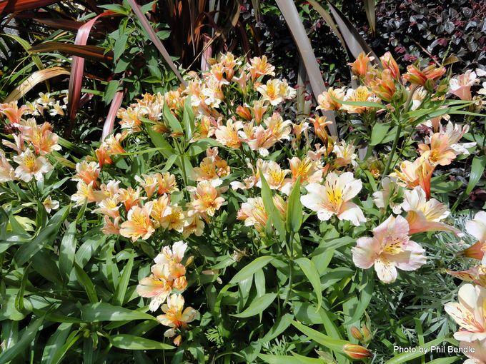 Alstroemeria species Peruvian lily -008.JPG