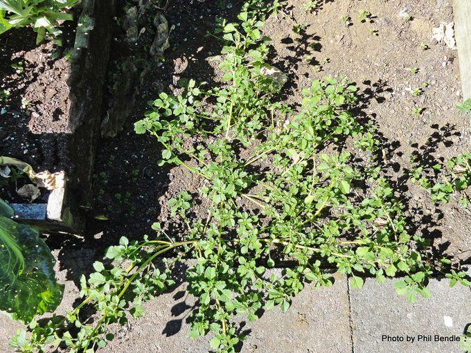 Amaranthus graecizans Mat amaranth .JPG