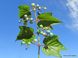 Phil Bendle Collection:Ampelopsis glandulosa var. heterophylla (Porcelain berry vine)