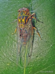 Phil Bendle Collection:Cicada (Clapping cicada) Amphipsalta cingulata