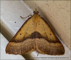 Phil Bendle Collection:Anachloris subochraria (Golden Grass Carpet moth)