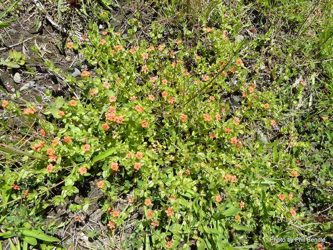 Anagallis arvensis Scarlet Pimpernel .JPG
