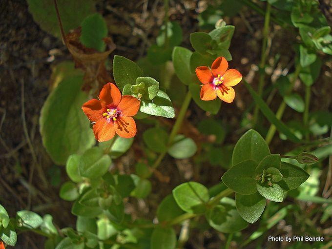 Anagallis arvensis Scarlet pimpernel 1 .JPG