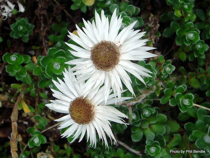 Anaphalioides alpina-001.JPG