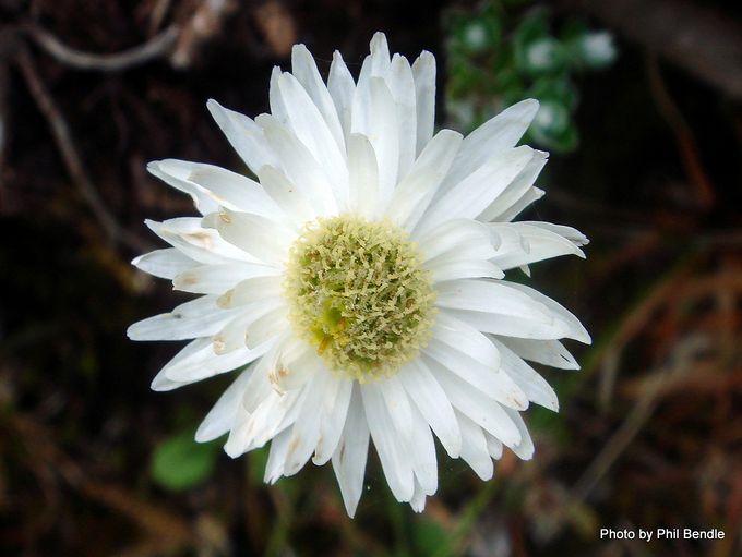 Anaphalioides alpina-002.JPG