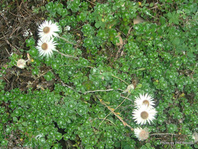 Anaphalioides alpina.JPG