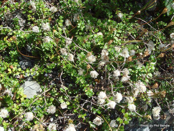 Anaphalioides bellidioides Everlasting Daisy-003.JPG