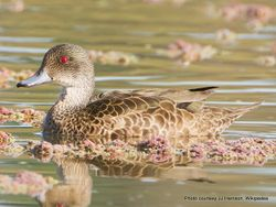 Phil Bendle Collection:Duck (Grey teal) Anas gracilis