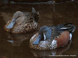Phil Bendle Collection:Duck (Australasian shoveler) Anas rhynchotis
