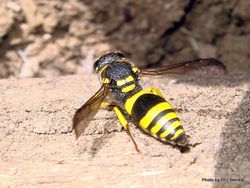 Phil Bendle Collection:Wasp (European tube) Ancistrocerus gazella