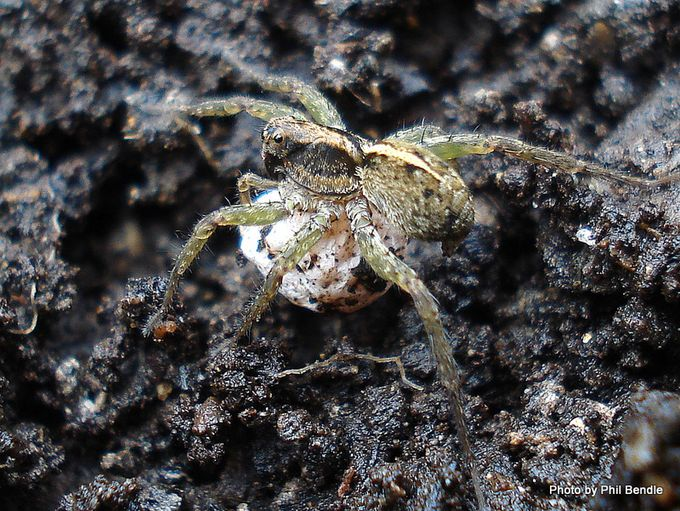Anoteropsis hilaris Lycosa hilaris garden wolf spider with egg .-7.JPG