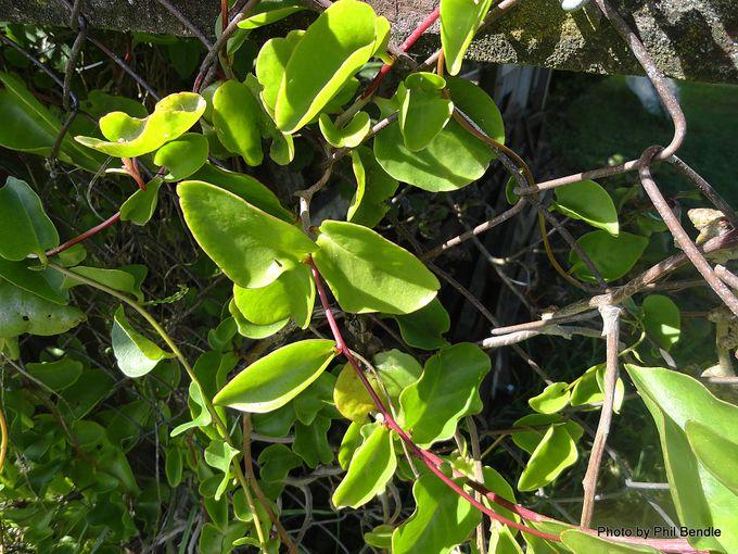 Anredera cordifolia Madeira vine Mignonette vine. -002.JPG
