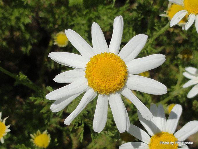 Anthemis arvensis Corn chamomile Scentless chamomile-001.JPG