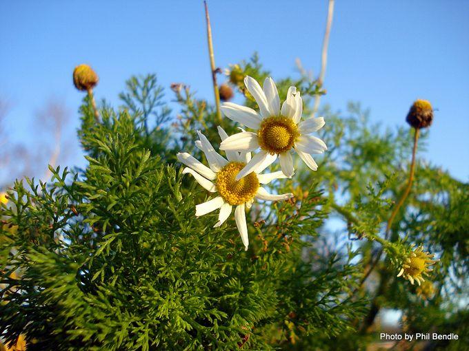 Anthemis arvensis Mayweed Corn chamomile-005.JPG