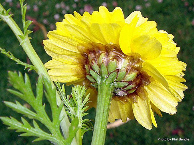Anthemis tinctoria Cota tinctoria 1 .JPG
