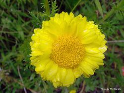 Phil Bendle Collection:Anthemis tinctoria (Yellow chamomile)