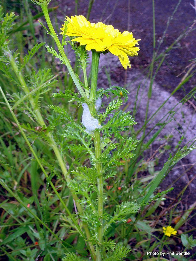 Anthemis tinctoria Cota tinctoria 3 .JPG