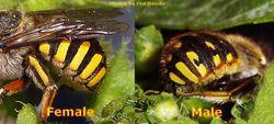Phil Bendle Collection:Bee (Wool carder) Anthidium manicatum