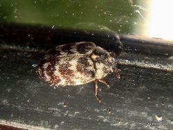 Phil Bendle Collection:Beetle (Carpet) Anthrenocerus australis
