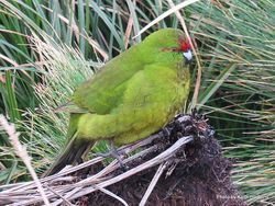 Phil Bendle Collection:Parakeet (Red crowned) Cyanoramphus novaezelandiae