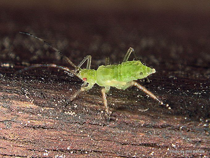 Aphid Family Aphididae -001.JPG