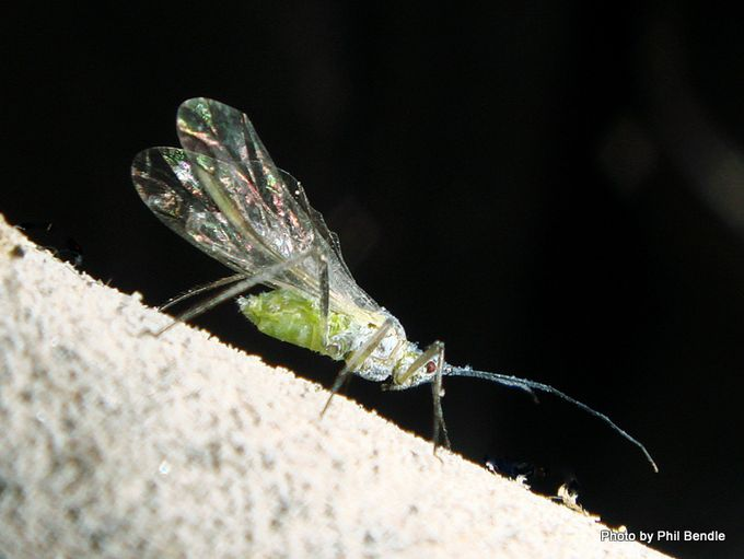 Aphids winged female 2 .JPG