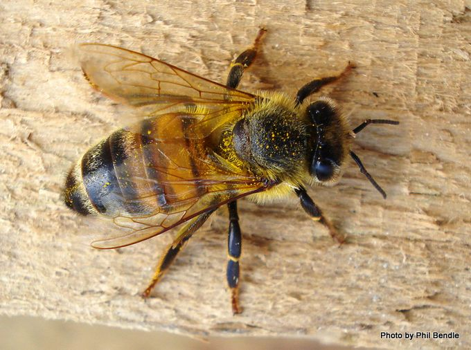 Apis mellifera honey bee-4.JPG