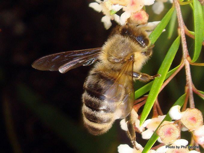 Apis mellifera mellifera Honey bee-005 1 .JPG