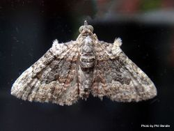 Phil Bendle Collection:Phrissogonus laticostata (Apple looper moth)