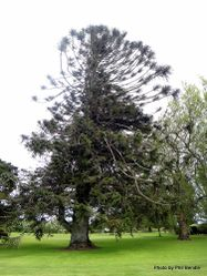 Phil Bendle Collection:Araucaria bidwillii (Bunya Pine)