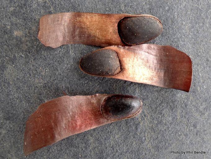 Araucaria bidwillii Bunya Pine -001.JPG