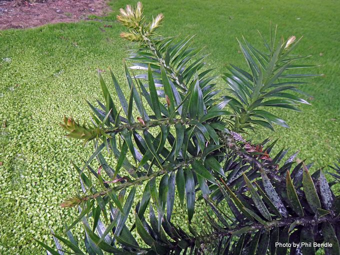 Araucaria bidwillii Bunya Pine -003.JPG