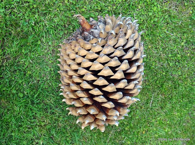 Araucaria bidwillii Bunya Pine .JPG
