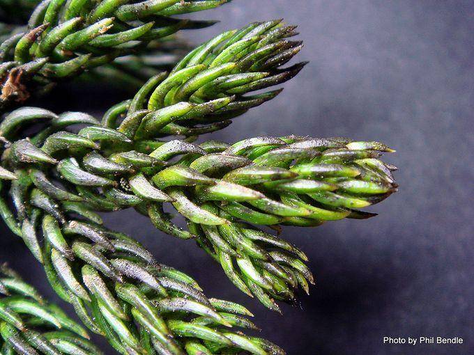 Araucaria cunninghamii Hoop pine-001.JPG